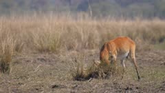 Red lechwe male showing rutting behaviour thrashing grass clump with horns then walks to camera