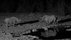 Black rhinoceros cow calf and bull at waterhole at night cow backs away from bull