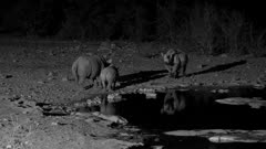 Black rhinoceros two cows and a calf at waterhole at night, one cow false charges the other as she approaches