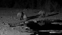 Black rhinoceros two cows and a calf at waterhole at night, one cow attacks the other which then flees