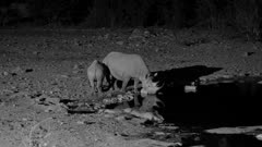 Black rhinoceros cow and calf drinking at waterhole at night nice reflections