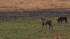 Roan antelope on short run