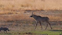 Roan antelope walking to waterhole warthogs trot by exits