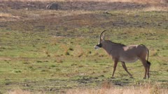 Roan antelope walking to waterhole stops and watches