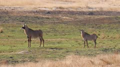 Roan antelope walking to waterhole enters and exits