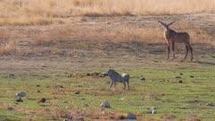 Roan antelope walking to waterhole warthog in foreground exits