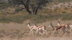 Springbok herd trotting one sprints away