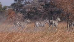 Chapman's zebras trotting away then turn to watch