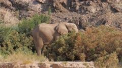 Desert adapted elephant bull feeding in scrub on river bank defecates Hoarusib river