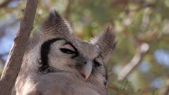 Verreaux's eagle-owl roosting eyes closing