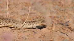 Puff adder moving through dry grass close up
