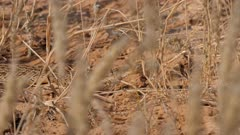 Puff adder moving through dry grass