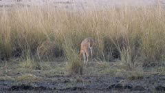 Southern reedbuck female feeding on edge of tall grass