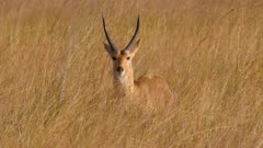 Southern reedbuck male in tall grass alert watching then continues feeding