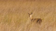 Southern reedbuck female in tall grass alert watching