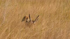 Southern reedbuck male feeding in tall grass