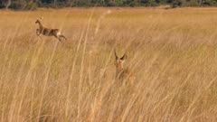 Southern reedbuck male and female fleeing through tall grass