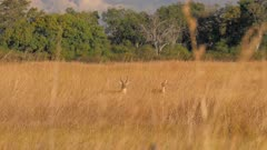 Southern reedbuck male and female in tall grass alert watching
