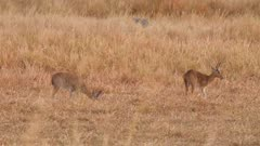 Southern reedbuck males grazing