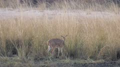 Southern reedbuck female grazing on edge of tall grass