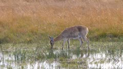 Southern reedbuck female grazing in shallow water