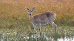 Southern reedbuck female in shallow water alert watching