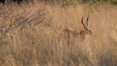 Southern reedbuck male grazing in tall grass scratches