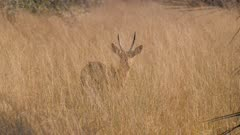 Southern reedbuck male grazing in tall grass