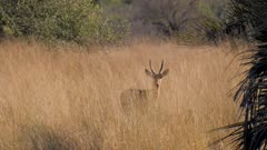 Southern reedbuck male in tall grass alert watching