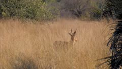 Southern reedbuck male in tall grass