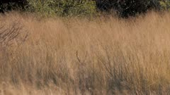 Southern reedbuck male bedded in tall grass stands then flees