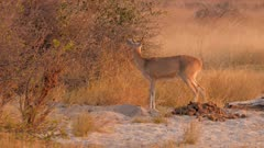Southern reedbuck male at sunset watchful exits