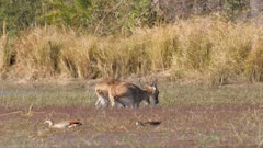 Southern reedbuck male and female feeding on reeds in knee deep water female walks away and exits