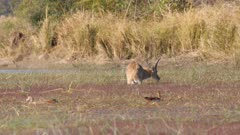 Southern reedbuck male feeding on reeds in knee deep water