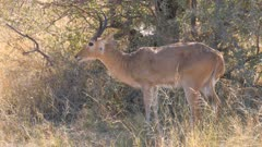 Southern reedbuck male grazing on short grass shakes head and exits
