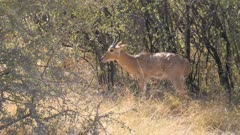 Southern reedbuck male grazing on short grass watchful