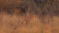 Southern reedbuck male walking through tall grass at sunset