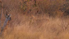 Southern reedbuck male feeding in tall grass at sunset