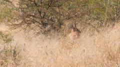 Steenbok feeding in tall grass
