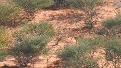 Steenbok on sand dune browsing scrub