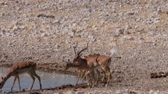 Black-faced impala male checking female for estrus flehmen response tail hair flared rutting behaviour