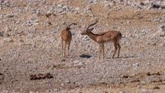 Black-faced impala challenge between two males posturing tongue flicking yawning