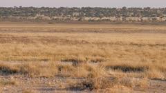 Black-backed jackal trotting past springbok
