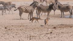 Black-backed jackals at waterhole trotting through herds of zebra and springbok