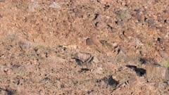 Klipspringers in rocky terrain walks out of view