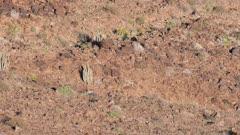 Klipspringers in rocky terrain wide shot