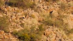 Klipspringer in rocky terrain alert watching