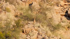 Klipspringer in rocky terrain exits