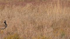 Northern black korhaan in short grass enters exits