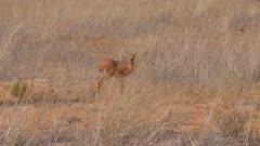 Steenbok in open grassland exits
